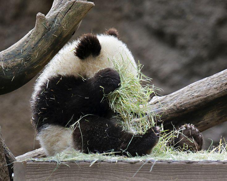 Xiao Liwu   San Diego Zoo, CA, USA