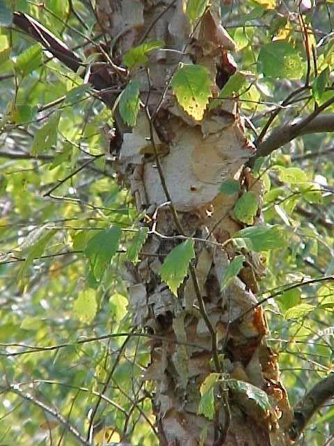 Betula nigra 'cully'