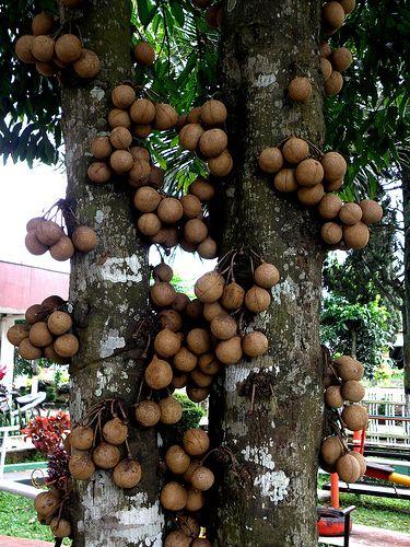 Burahol  tree (kepel)