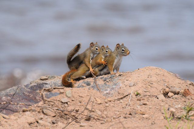 Comedy Wildlife Photo Awards 2016 - Squirrels on a family outing