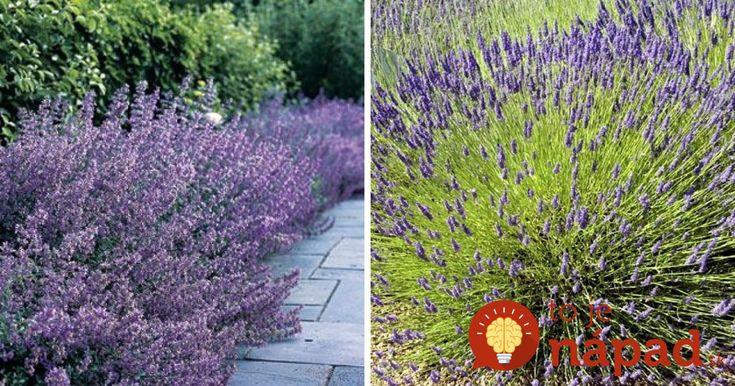 Levanduľa je nielen krásnou, ale aj veľmi užitočnou ozdobou našich záhrad. Vedeli ste však, že táto fialová rastlinka môže ochrániť…
