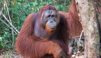 Orangutans in Borneo: Discovering Tanjung Puting National Park