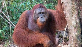 Orangutans in Borneo: Discovering Tanjung Puting National Park