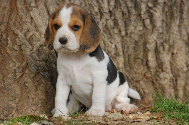 les 25 meilleures id es de la cat gorie chiots beagle sur pinterest chiot beagle b b s chiots. Black Bedroom Furniture Sets. Home Design Ideas