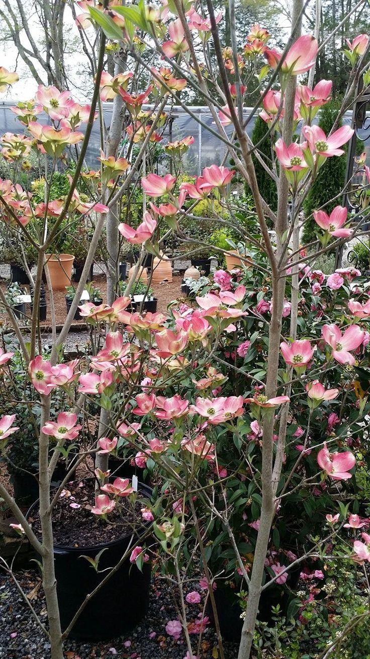 3 Gallon) 2 Pink Dogwood Trees in 2020 Dogwood trees