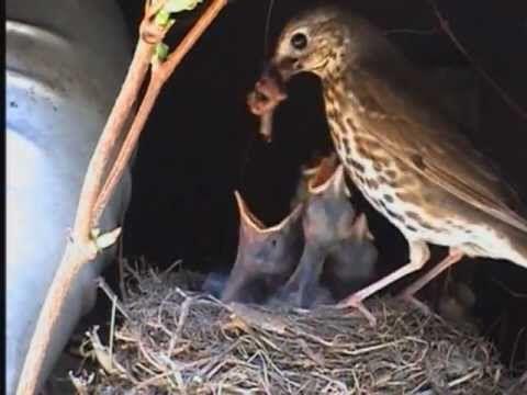Schöne Tierdokumentation über eine Singdrossel Familie. -Sie gehören zur Gruppe der Sperlingsvögel / Singvögel. -Männchen und Weibchen sind kaum zu untersche...