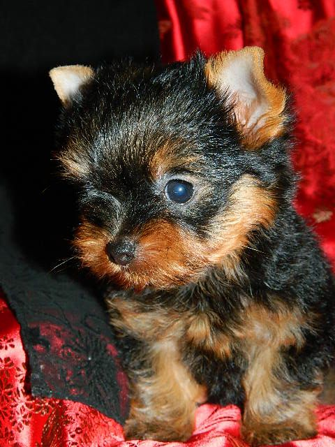 Teacup Yorkie Puppies-Babydoll FaceTeacup Yorkie-Yorkie Breeders-Yorkie Puppies for Sale-TeaCup Yorkies- Babydoll FaceYorkie Puppies