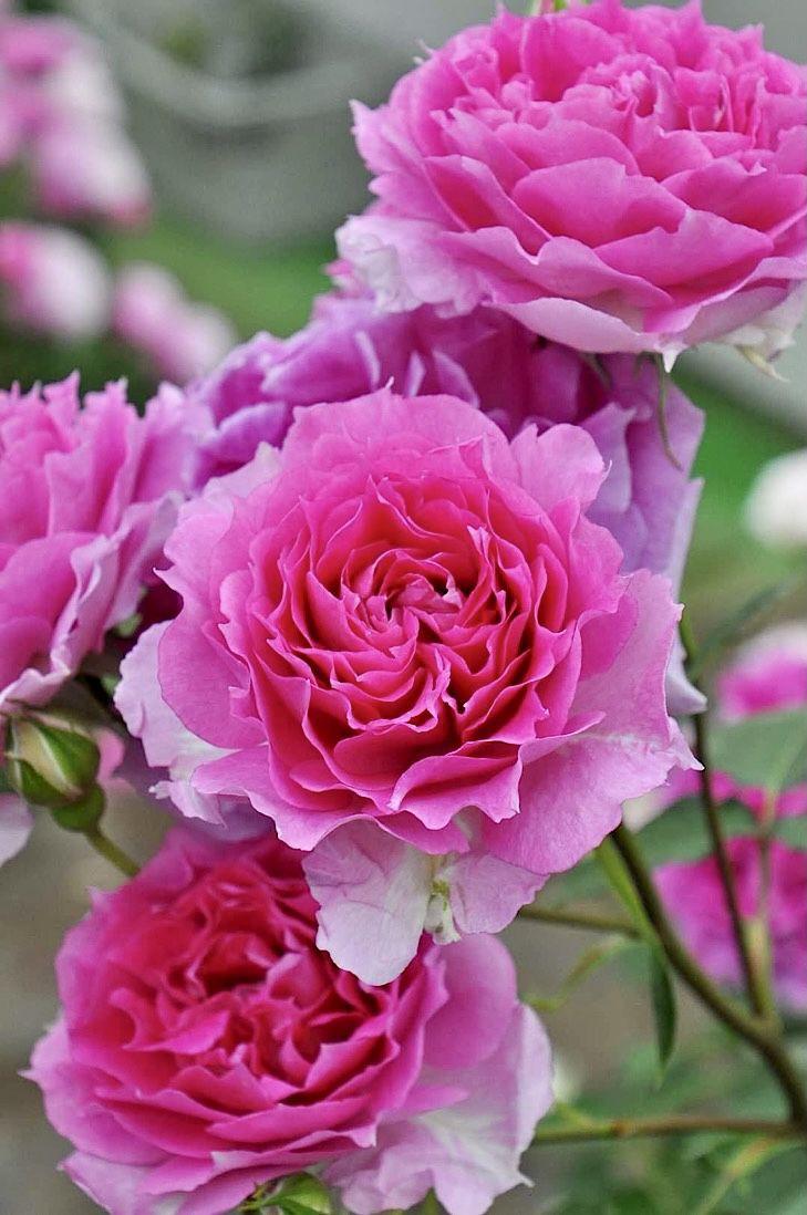 Roses おしゃれまとめの人気アイデア Pinterest Mika Ella きれいなバラ バラ バラ 庭