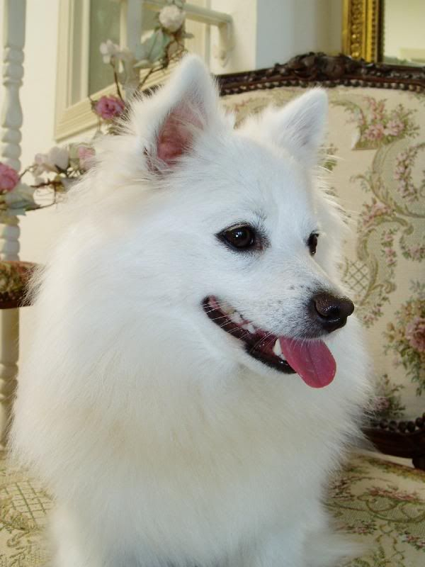 Best 25+ Miniature american eskimo ideas on Pinterest ...
