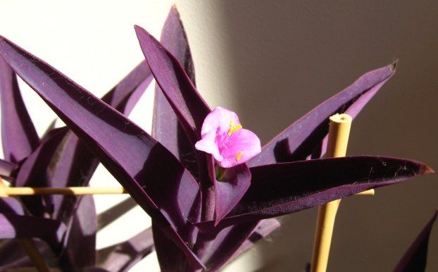 Setcreasea Purpurea is commonly known as Wandering Jew, Purple Heart or Purple Queen for its purple leaves. Wandering Jew is an excellent choice as ground cover or as a showy plant for hanging baskets. Propagated from divisions, Wandering Jew would grow in sunny as well as shady locations. It requires moderate watering and bears purple flowers throughout the year. Wandering Jew can also be used for xeriscaping for its capacity to withstand droughts; zone 10a - zone 8a