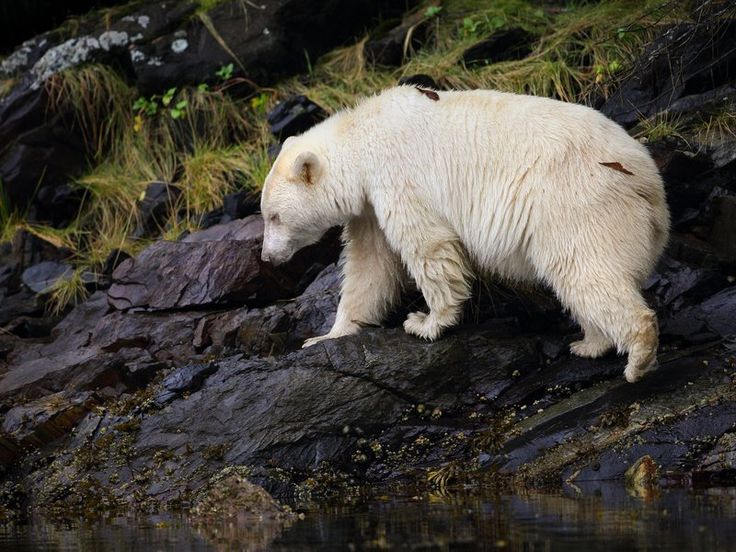 The white Kermode bear, a rare ursa sacred to local tribes, is now the center of a fierce battle to protect British Columbia's rainforest. (Melissa Groo) This Rare, White Bear May Be the Key to Saving a Canadian Rainforest | Science | Smithsonian