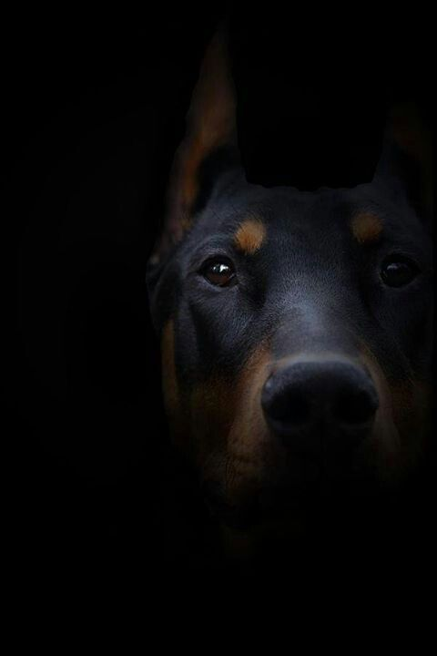 warlock doberman pinscher 18 - photo #47