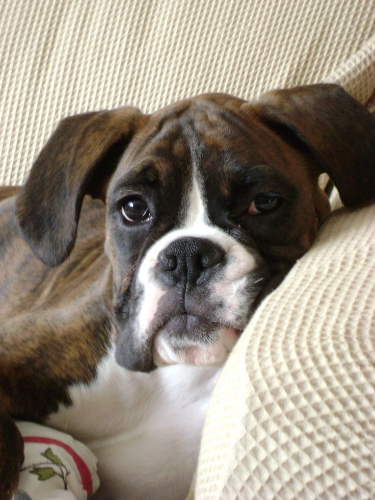 """""""Will you please come here and pet me?  I'm too tired to walk all the way over there to you.""""  (boxer)"""