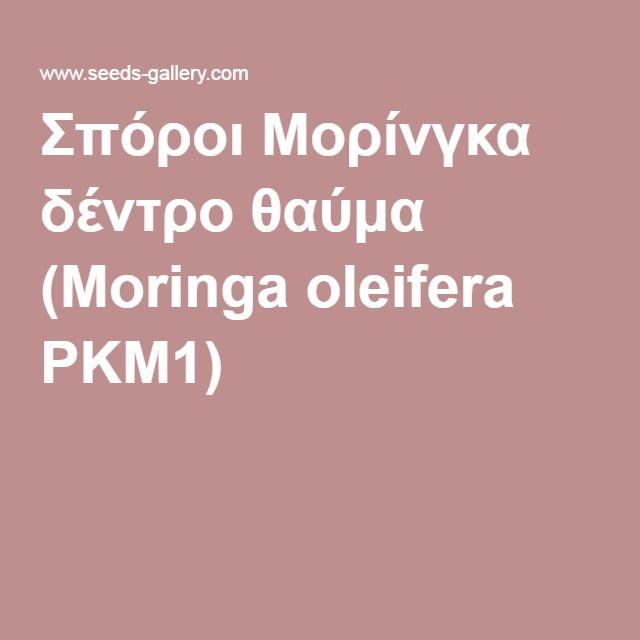 Σπόροι Μορίνγκα δέντρο θαύμα (Moringa oleifera PKM1)