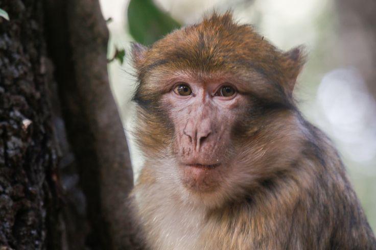 Morocco. Ifrane. Berber Macaque