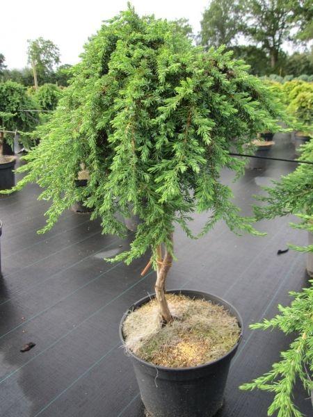 Juniperus communis Green Mantle - Grüner Kriechwacholder Green Mantle - Teppichwacholder - veredelt auf Hochstamm