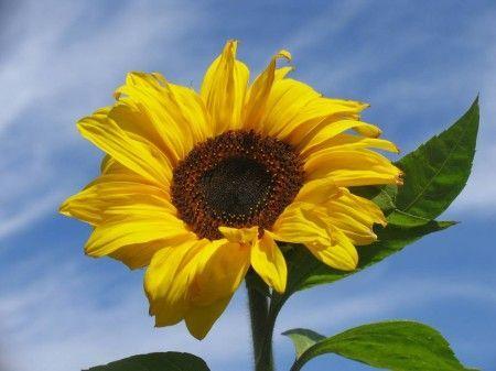 Come coltivare i girasoli in vaso: consigli utili per uno dei fiori più solari!