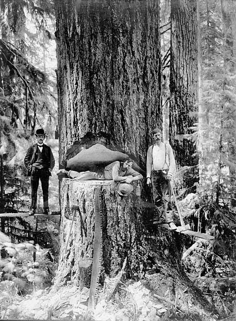 Lumberjacks cutting down a redwood in Humboldt County, CA, c. 1900.