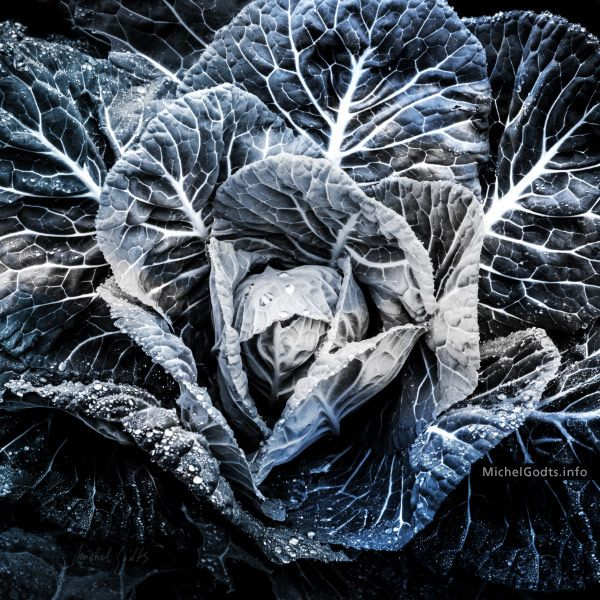 Abstract realism photography print for sale—Close up on the leaves of a large cabbage plant glittered with raindrops. An organic blue and gray duotone wall art for a unique contemporary decor.