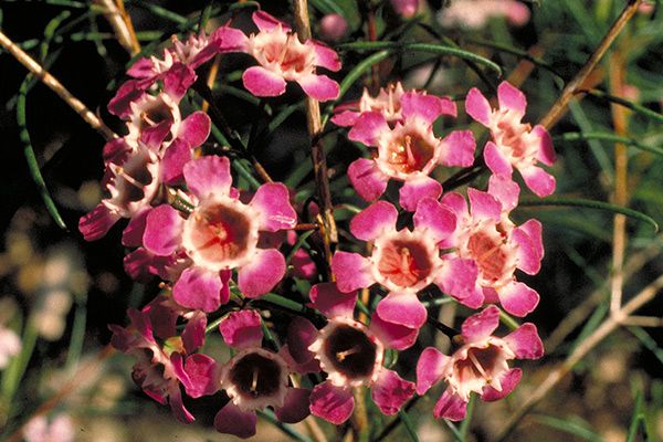 Geraldton Wax- this stuff is everwhere in Perth landscaping and it's been very popular in wedding floral bouquets as of late.
