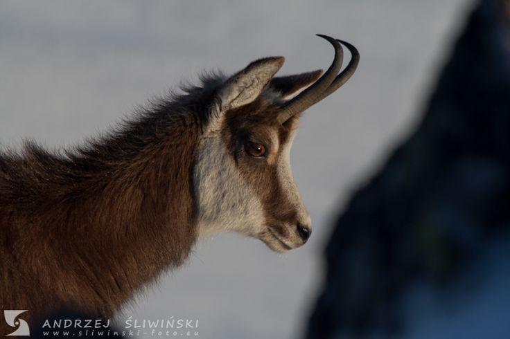 Chamois in the Tatra Mountains.  #wildlifephotography