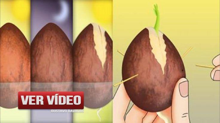Deja De Comprar Aguacates… ¡Mira Cómo Puedes Cultivarlos En Una Maceta E...