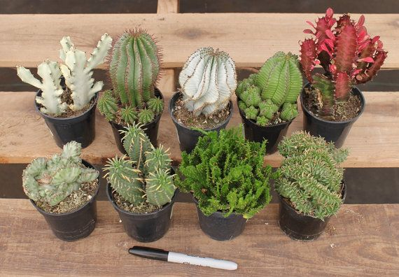 8 Euphorbia cactus succulents For Sale in their by SANPEDROCACTUS