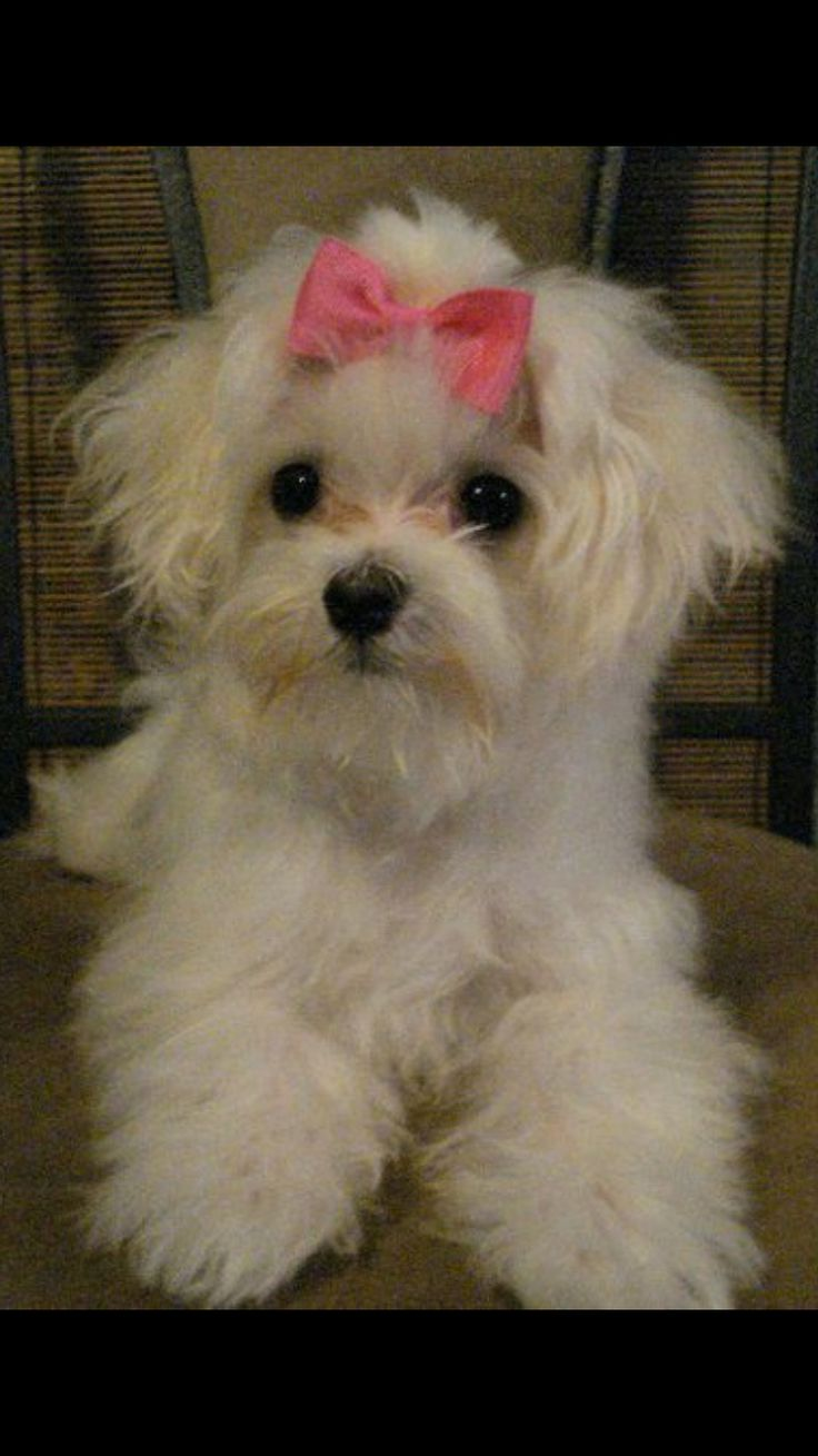 maltese havanese best 25 maltese dogs ideas on pinterest maltese 9683