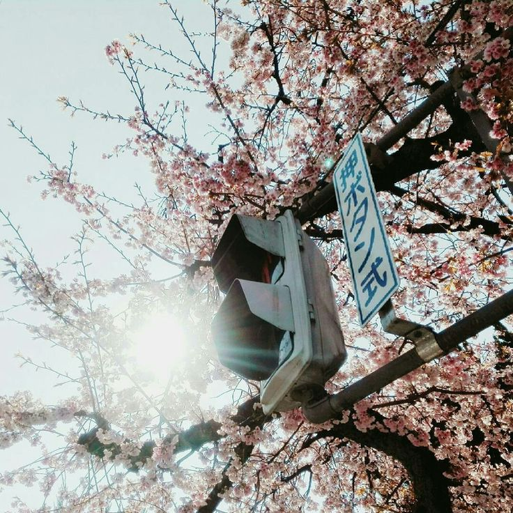 Cherry blossom ; Spring in Japan