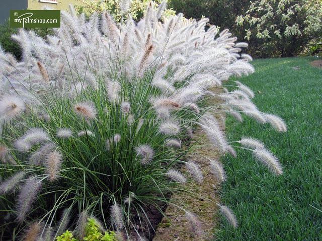 Pennisetum alopecuroides Hameln Herbe aux écouvillons 'Hameln' Robustité a froid…