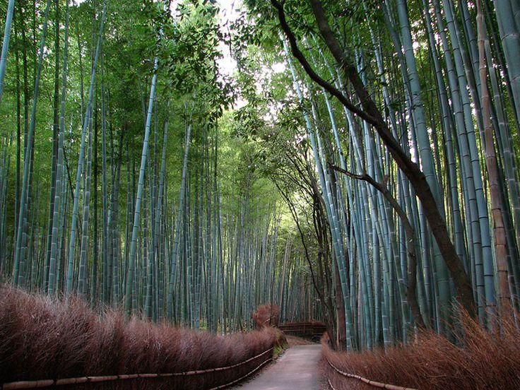 Kyoto, Stadt der Tempel: Bambushaine sind nicht nur für Buddhisten schön anzuschauen   © CC Yoozigen auf Flickr