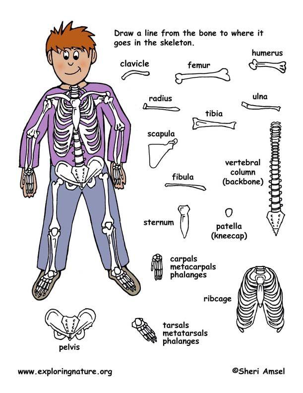 51 best images about 3rd skeletal system on pinterest | bone, Skeleton