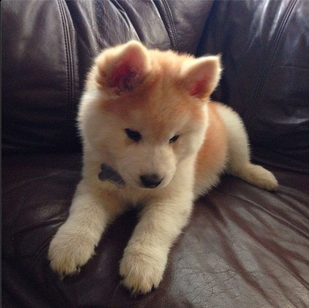 Chow Chow Mix With Husky Pups Chow Chow Puppies Dogs