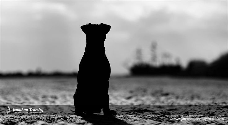 Patterdale Terrier. By Jonathan Yearsley.