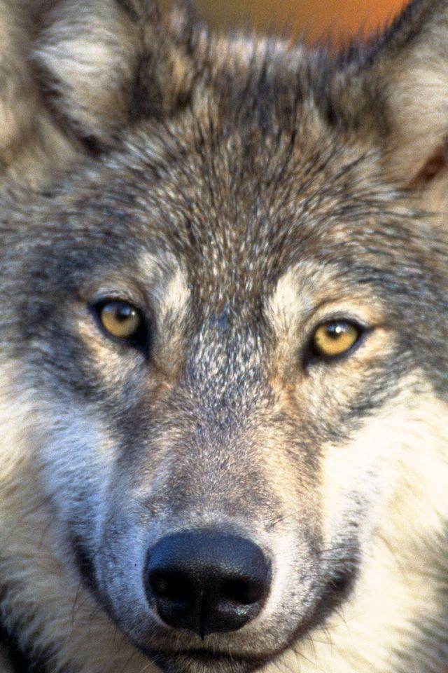 Wolf doesn't fit your mobile phone's screen – you can use our free picture editor.