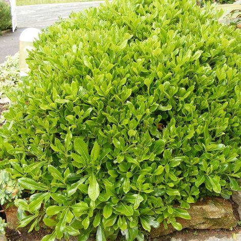 Les 25 meilleures id es concernant arbuste japonais sur for Arbuste jardin japonais
