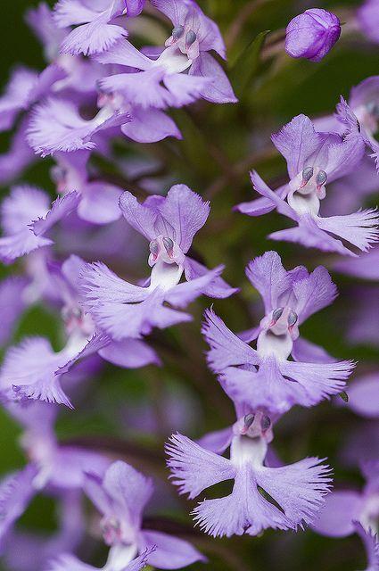 Orquídea franjada roxo. Platanthera praeclara, conhecido como a pradaria franjas orquídea ocidental ea orquídea franjada branco Great Plains, é uma espécie rara e ameaçada de orquídea nativa da América do Norte .