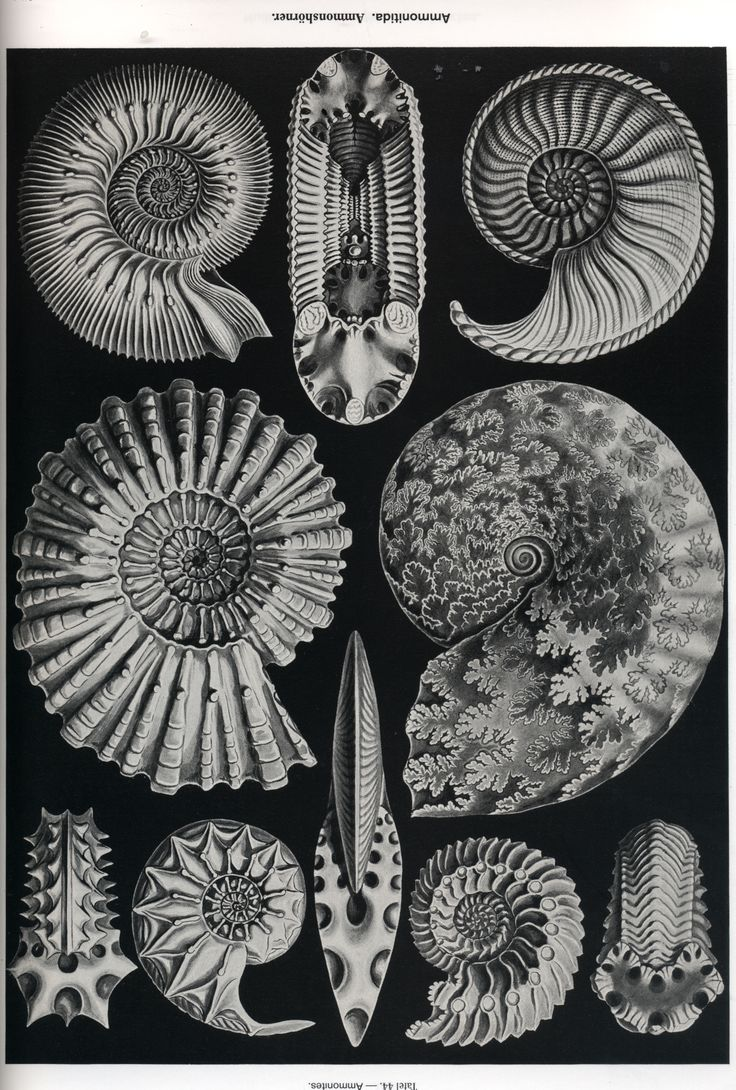 Ernst Heckel ammonites