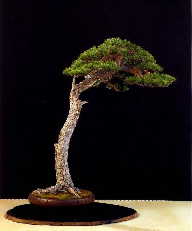 17 best images about bunjin literati style on pinterest for Literati bonsai gallery