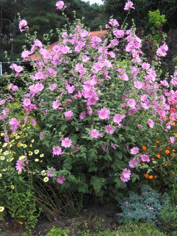 32 Best Images About Mallow Lavatera On Pinterest