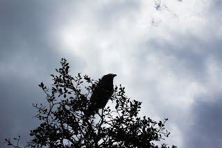 Raven di Taman Burung Kawah Sikidang, Dieng Wonosobo Jawa Tengah Indonesia