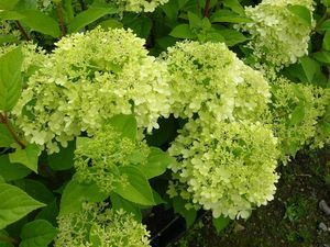 Hydrangea paniculata Limelight 40-60 At/Co