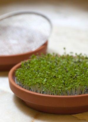 Los germinados son un alimento de pequeño tamaño, pero con un contenido nutritivo enorme, llenos de vitaminas, enzimas y clorofila.