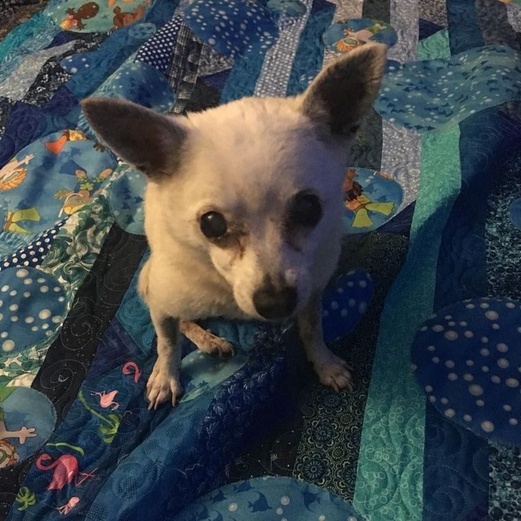 For me?! Pixxie approves of the new quilt. #dogsofinstagram #personalquilt