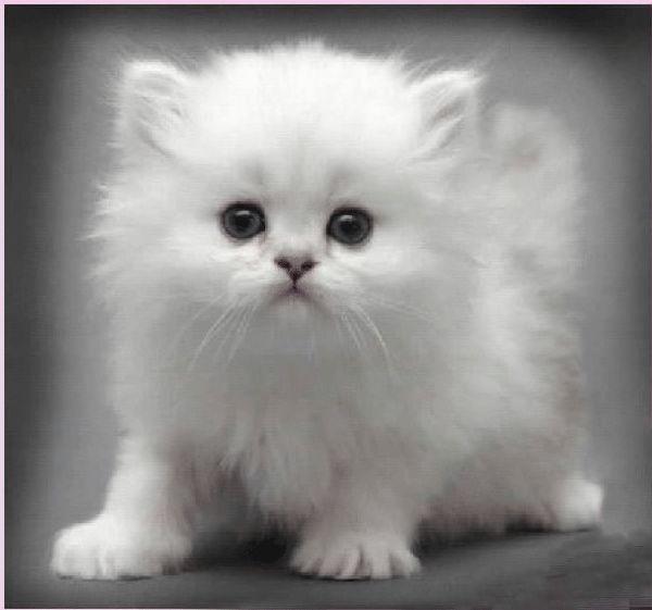 cute white kitten https://www.facebook.com/catsRpeopleToo