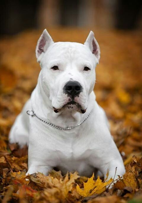 [The Dogo Argentino] walks quietly but firmly, showing its intelligence and quick responsiveness and revealing by means of its movement its permanent happy natural disposition. Of a kind and loving nature, of a striking whiteness, its physical virtues turn it into a real athlete.   More Info: http://www.akc.org/dog-breeds/dogo-argentino/   Rescue: www.dogo.com/