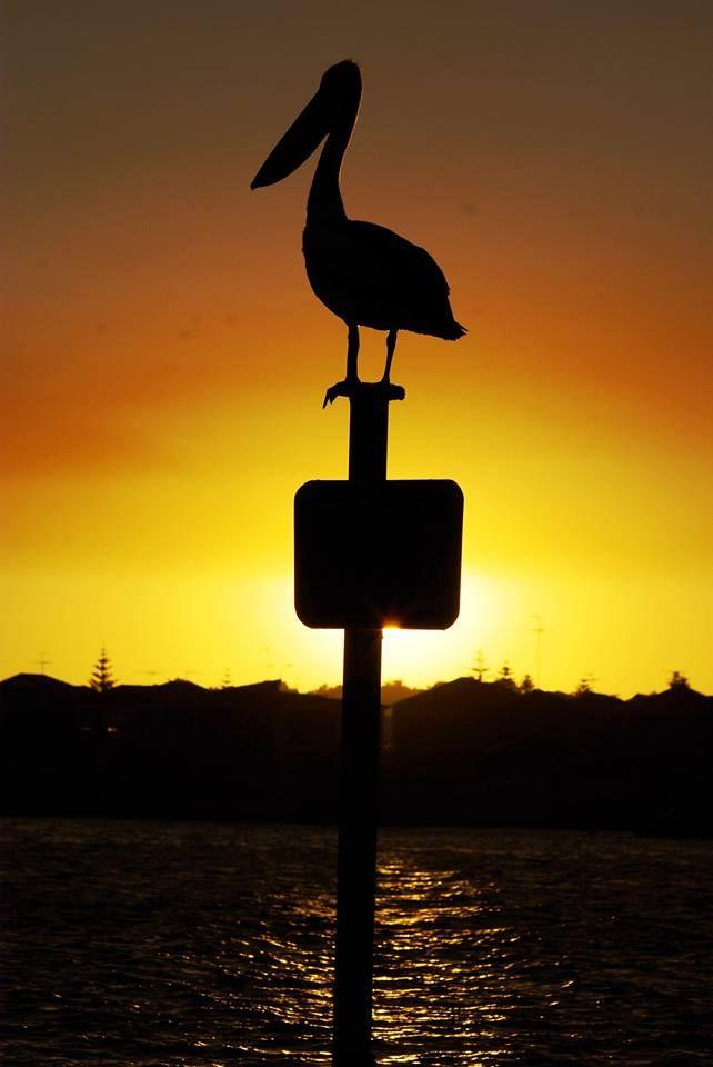 Mandurah pelican seen on a sunset cruise