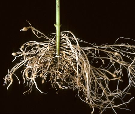 effect of nematode on tobacco Root-knot nematodes meloidogyne incognita damage on potato  root-knot  nematodes affect a wide range of crops, particularly vegetables.