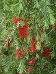 river bottlebrush - for parrots and lorikeets