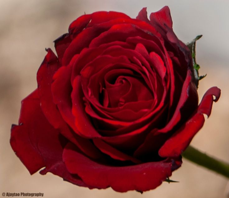 Red Rose - Ajaytao